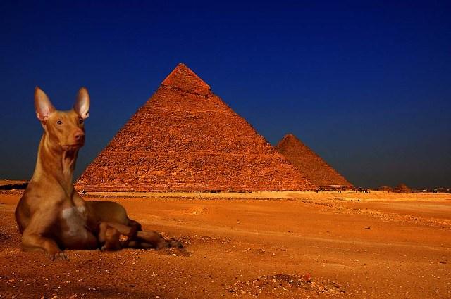Faraonų šunys