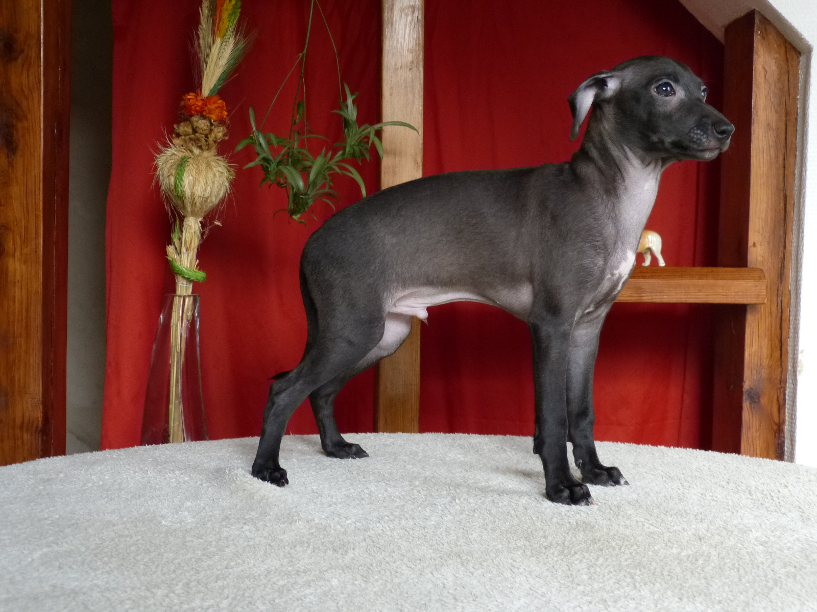 Parduodamas levretės šuniukas