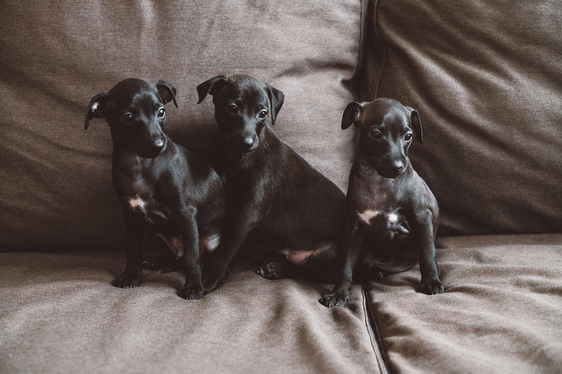 Italų kurtų šuniukai