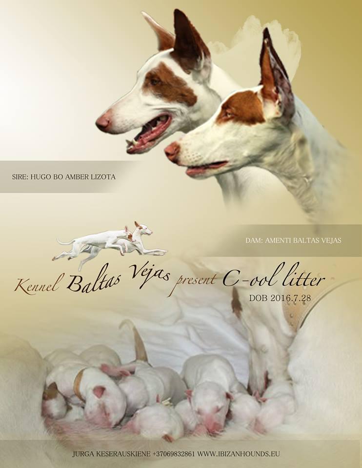 """Ibizos šuo – laisvas patinukas veislyne """"Baltas vėjas"""""""